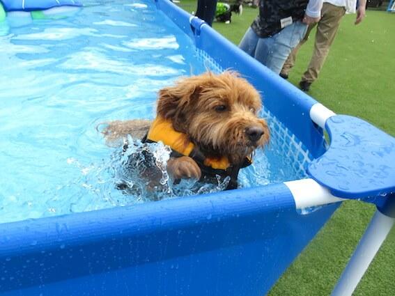 プールを嫌がる犬