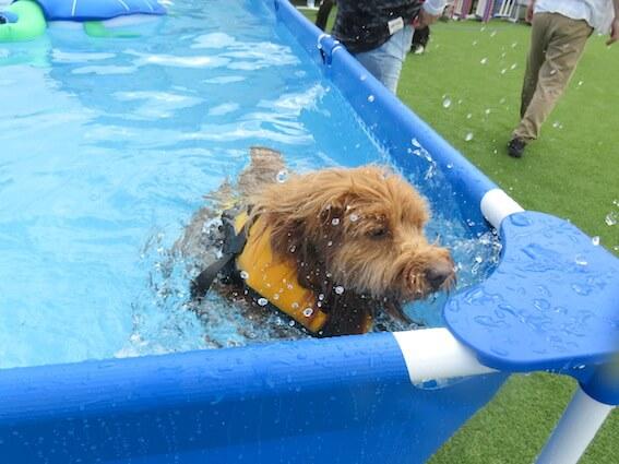 泳ごうとする犬