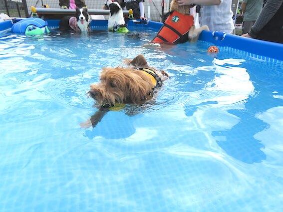 プールで泳ぐ犬の写真