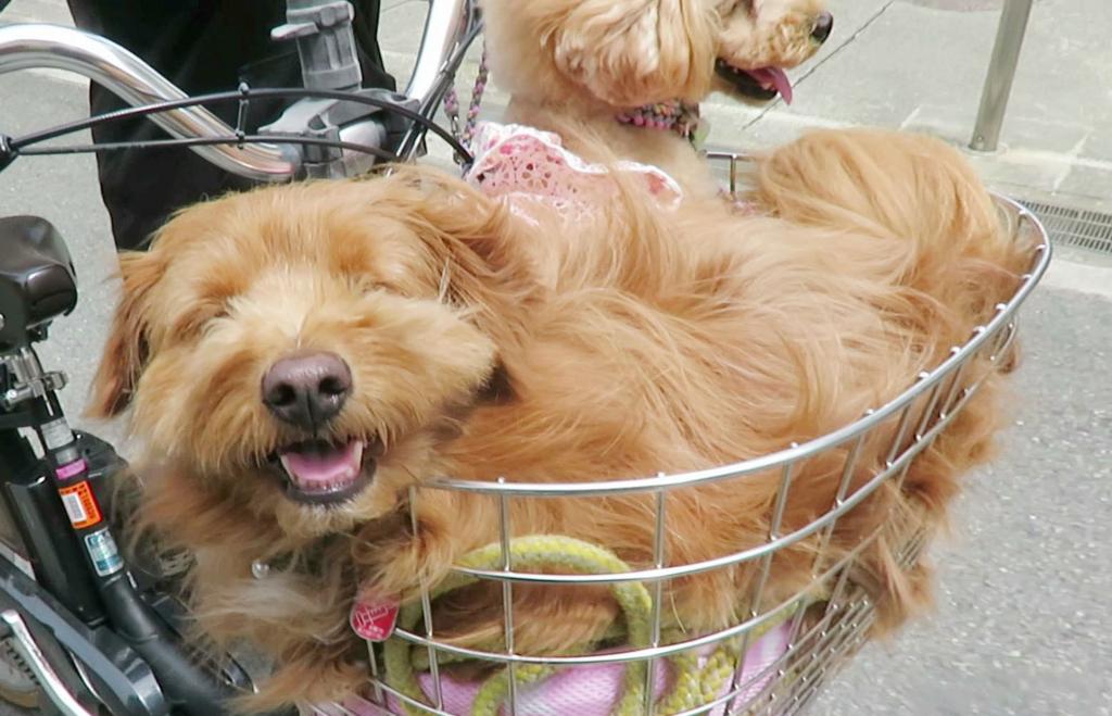 自転車のかごに乗る犬の写真