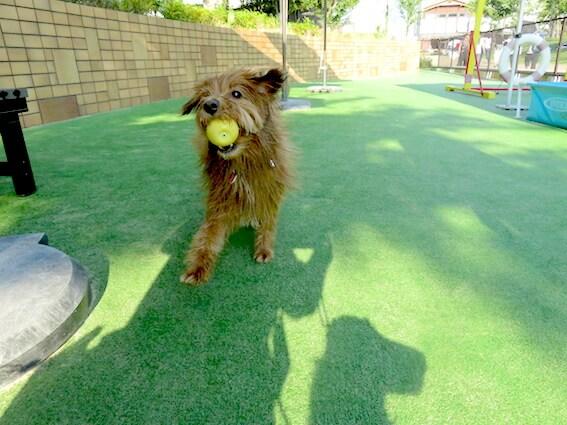 ボールをくわえて戻ってくる犬の写真