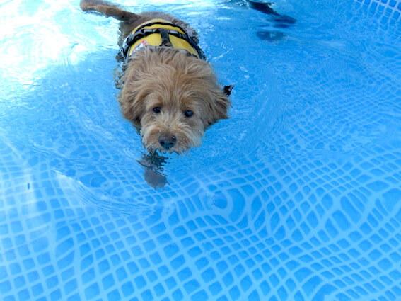 泳いでくる犬の写真