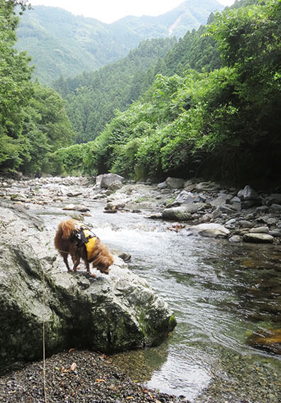 川に入ろうとする犬の写真