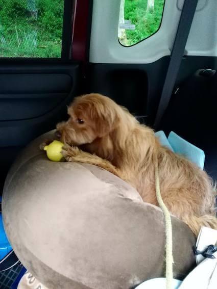 くまのおもちゃで遊ぶ犬