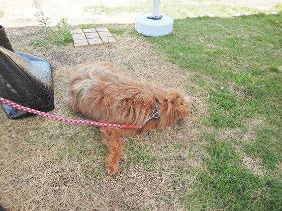 芝生の上で寝る犬の写真