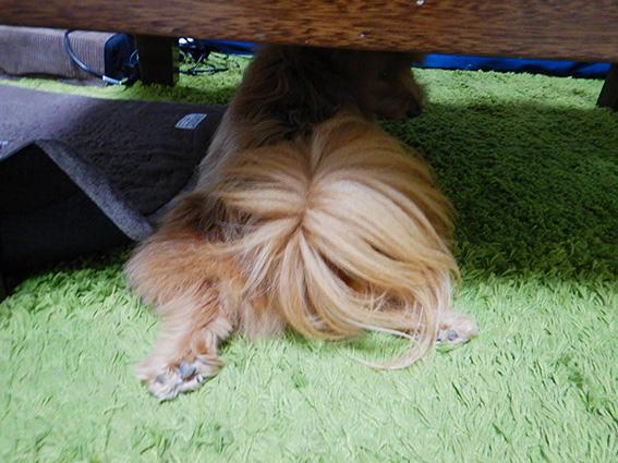 テーブルの下に入る犬の写真