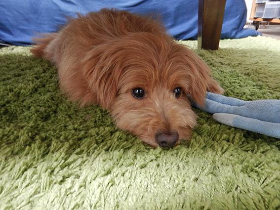 テーブルの下に入って落ち着く犬