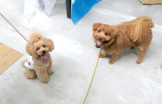 トイプードルとMIX犬の写真