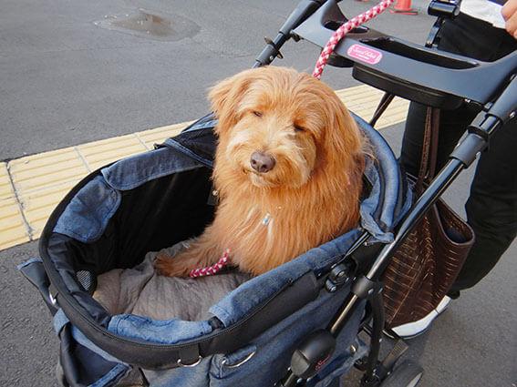 カートに乗った犬の写真