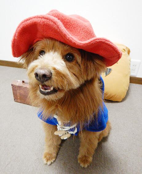 ハロウィンでパディントンベアのコスプレをする犬