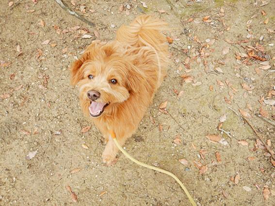 笑いながら散歩する犬