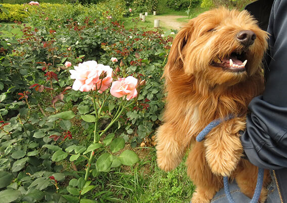 大阪市の靭公園のバラ