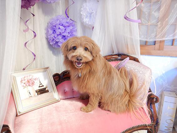 可愛いソファに乗る犬の写真