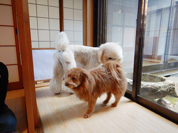 スタンダードプードルとMIX犬