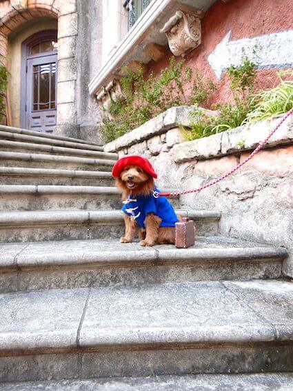 階段に座るパディントン犬