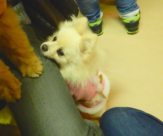 保護犬カフェのポメラニアンの写真