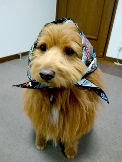 ほっかむりする犬