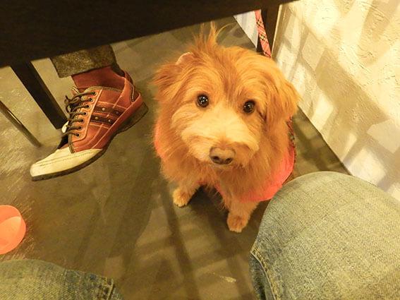 テーブルの下で待っている犬