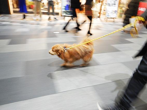 新京極を歩く犬