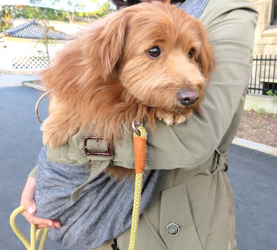 スリングに入っている犬の写真