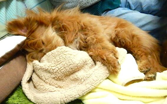 毛布を抱いて眠る犬