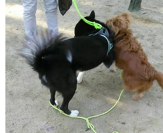 ワンプロレス中の犬
