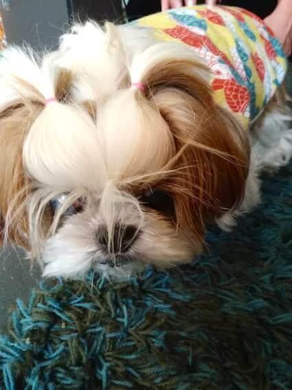 シーズーのシニア犬の写真