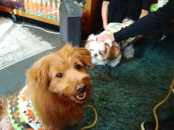シーズーとミックス犬