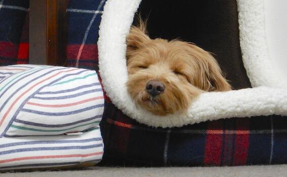 ベッドから顔がはみ出している犬の写真