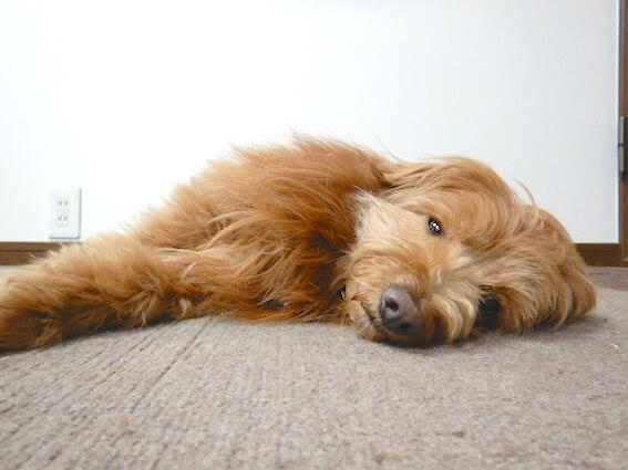 つまらなそうな犬の写真
