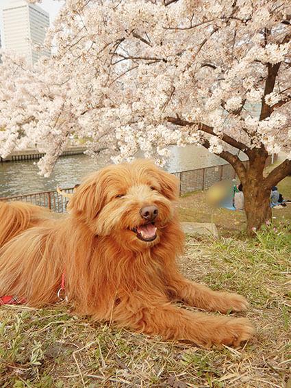 満開の桜と犬の写真