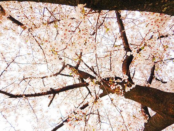 満開の桜写真