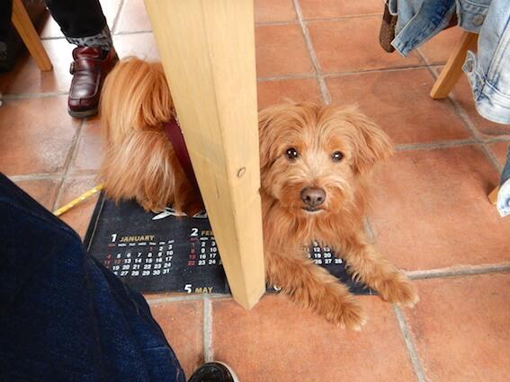 テーブルの下で待っている犬の写真
