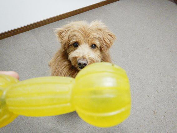 知育玩具を見上げる犬の写真