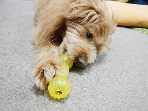 知育玩具で遊ぶ犬の写真
