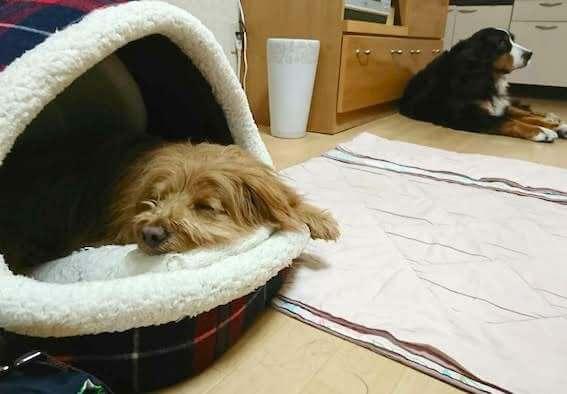 ドームベッドで寝る犬