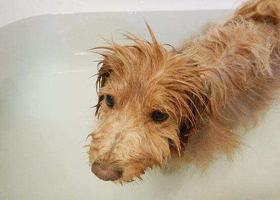おとなしくお風呂に入る犬の写真