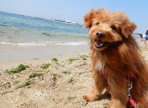 波打ち際で笑顔の犬の写真