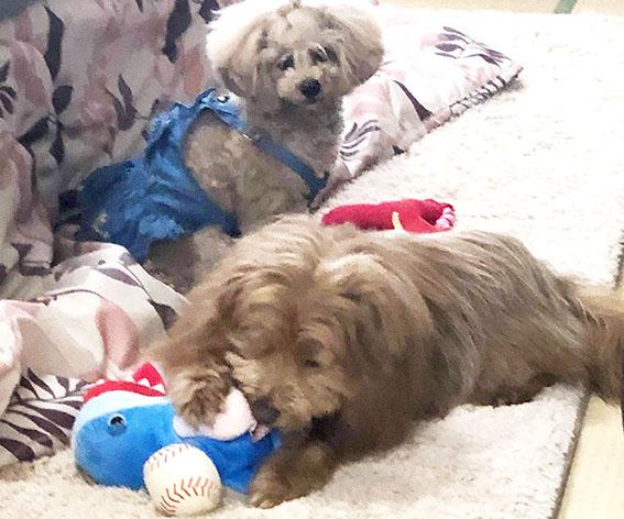 友達犬のおもちゃで遊ぶ犬