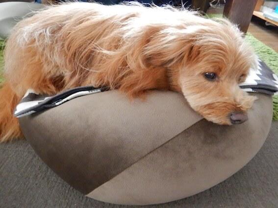 ビーズクッションに乗る犬