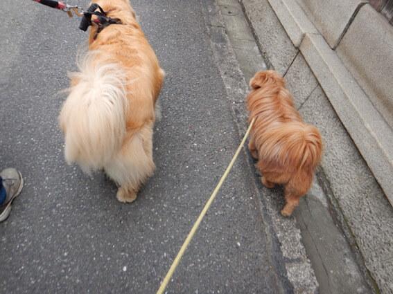 ゴールデンと一緒に歩くMIX犬