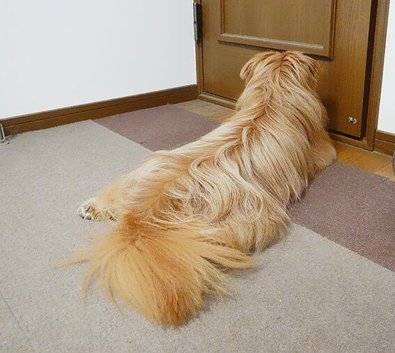 ドアの前で飼い主を待つ犬