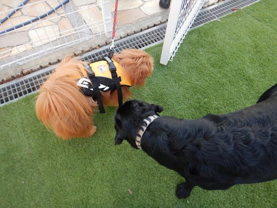 黒ラブとMIX犬