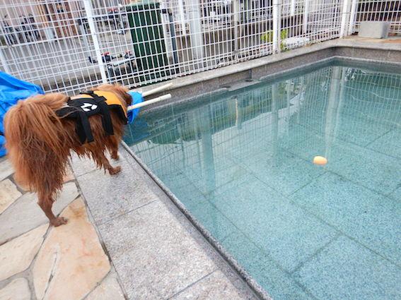 プールに落ちたボールを見る犬