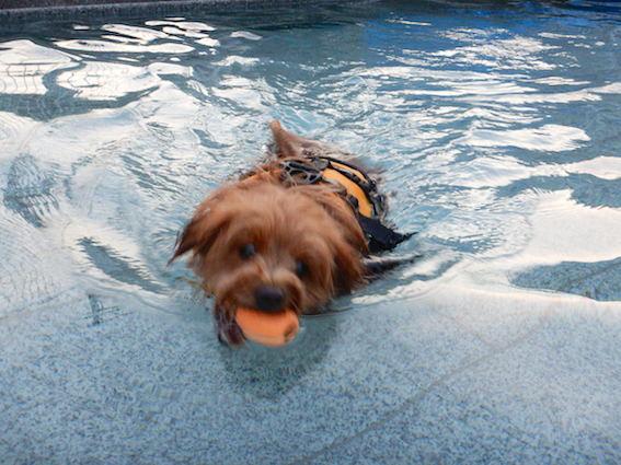 プールでボールをくわえて泳ぐ犬