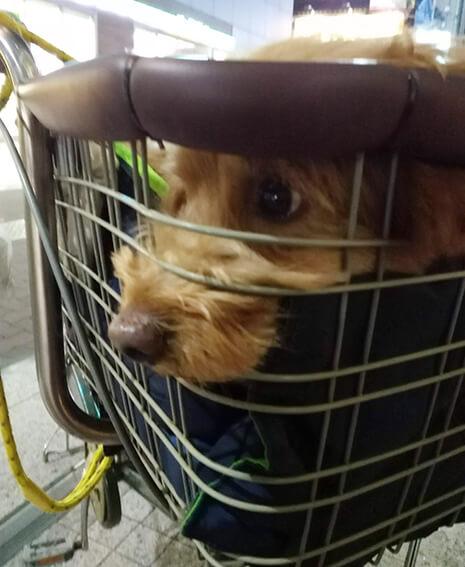 自転車のカゴから顔を出す犬