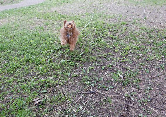 ボール投げする犬