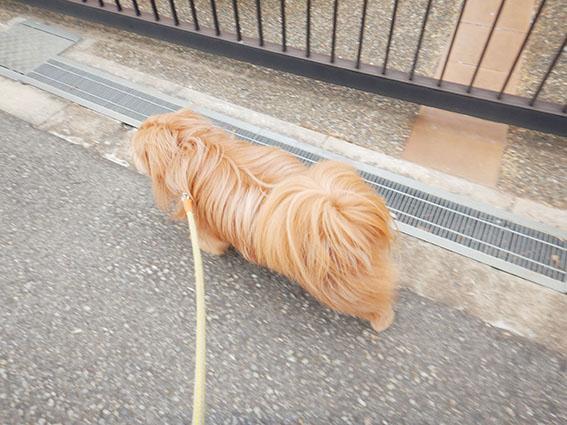 散歩してる犬