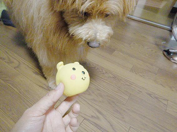 ボールを見つめる犬