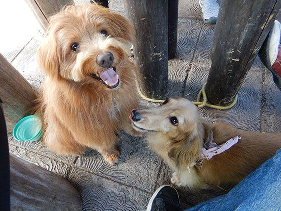 笑顔の犬とダックスフンド